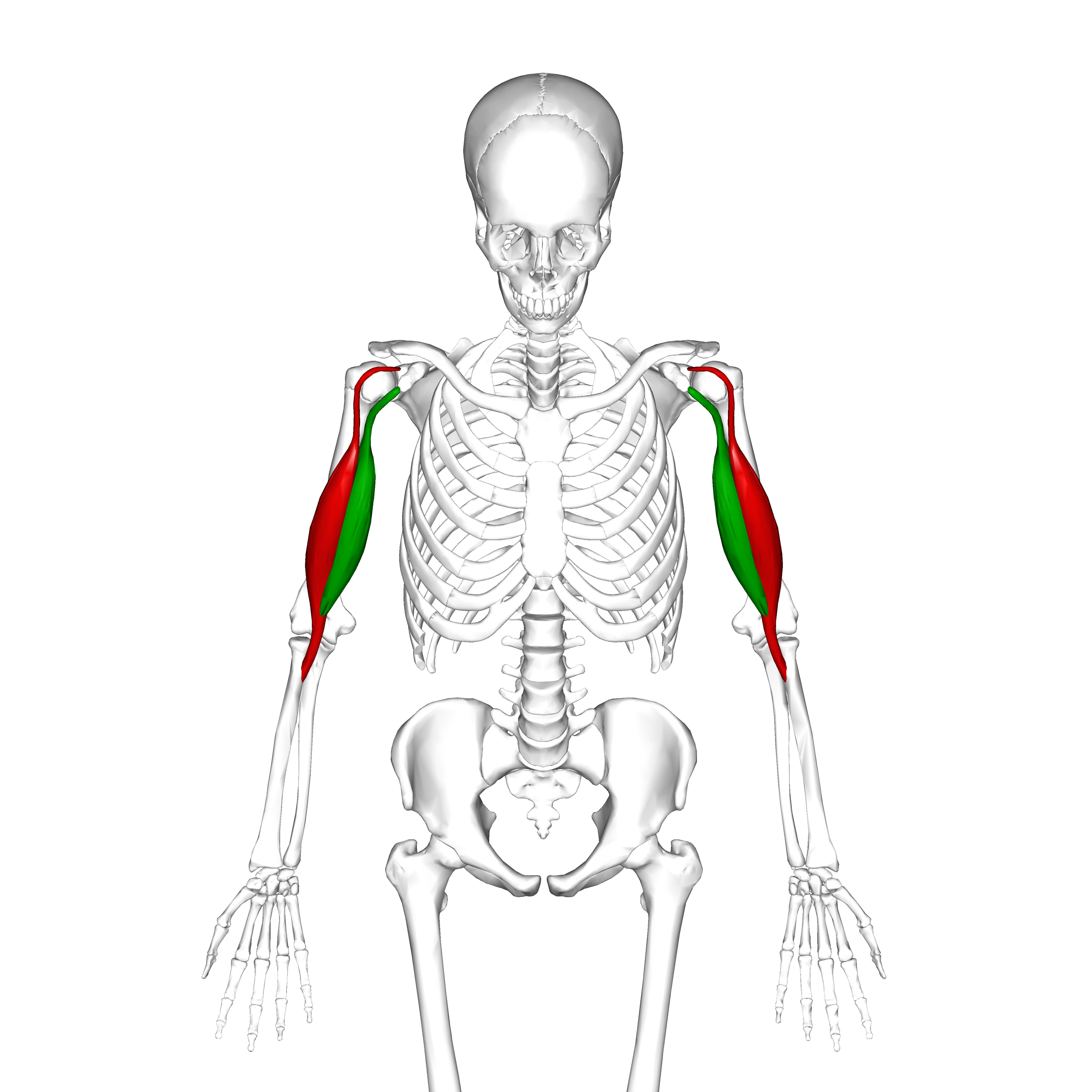 biceps brachii muscle - photo #21