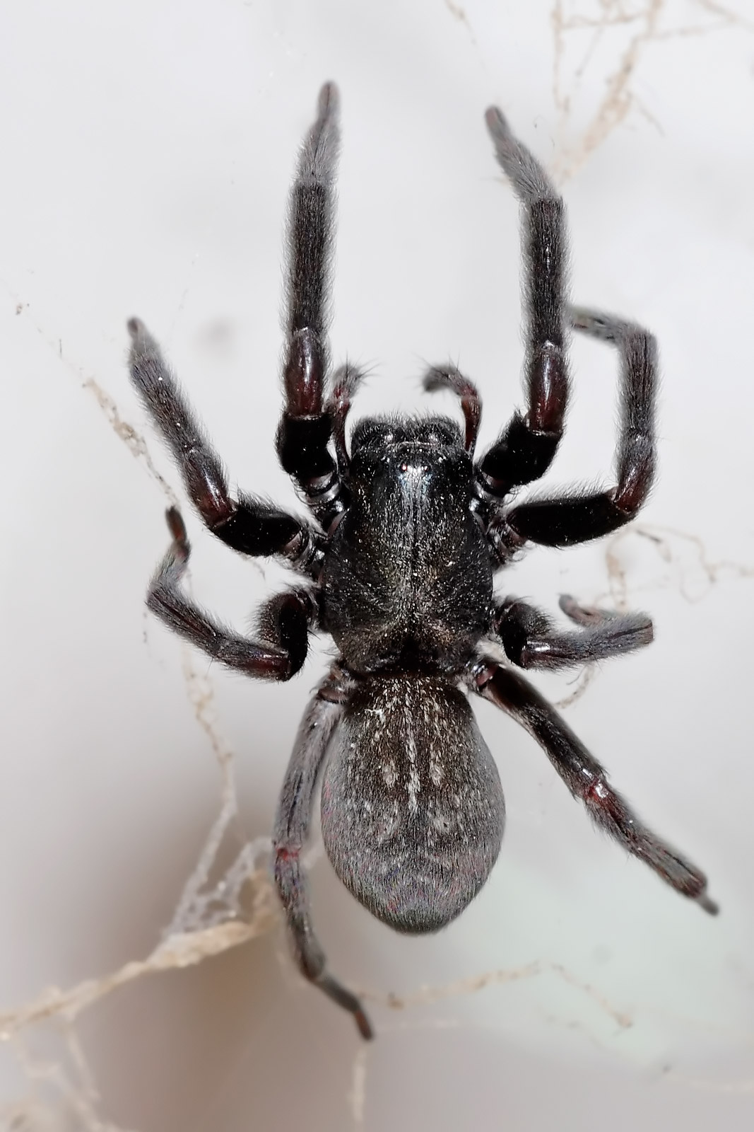 What does a grey house spider look like wikianswers fandom powered by wikia for What does a garden spider look like