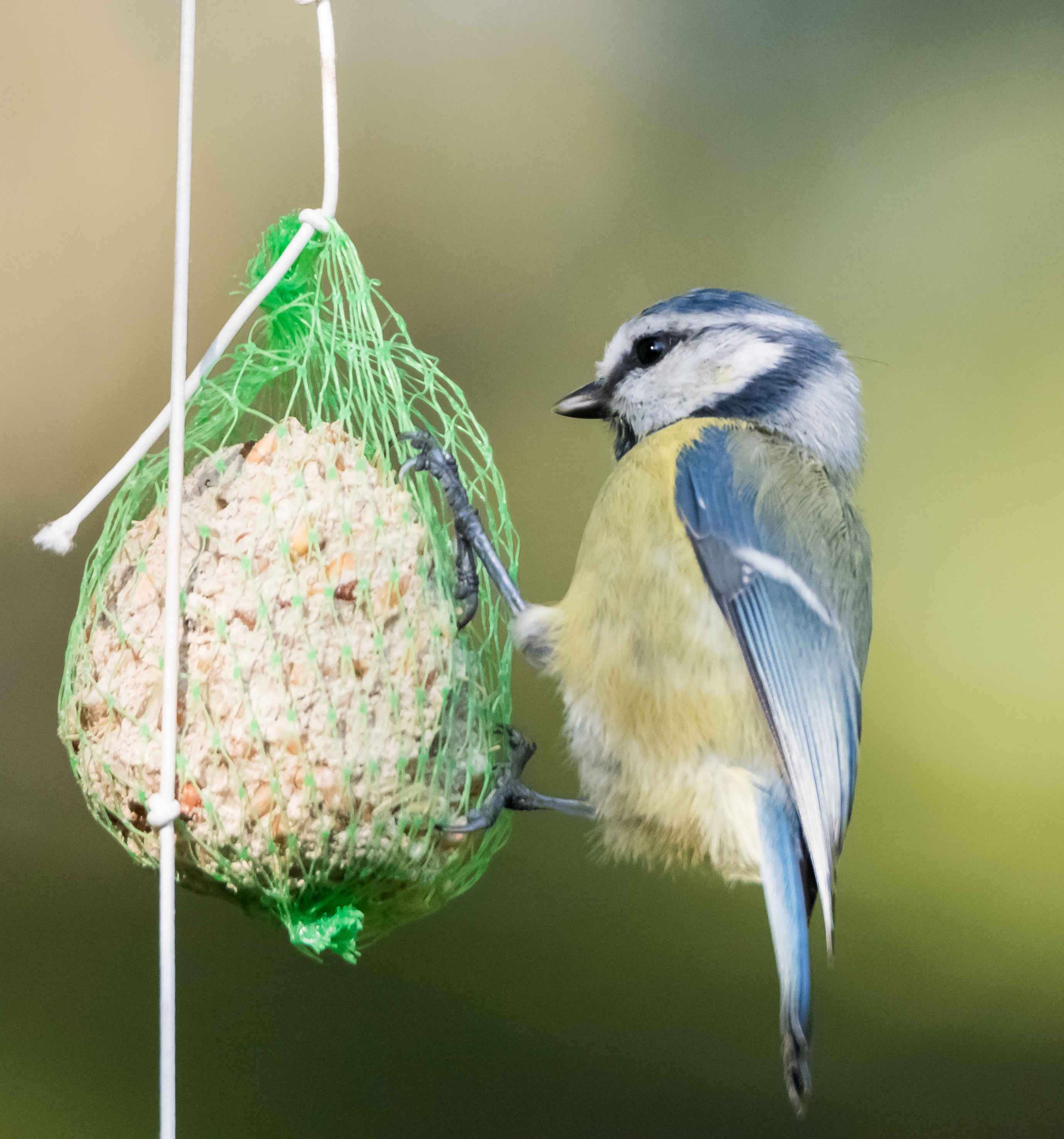 Autor: Magnus Johansson (blue tit) [CC BY-SA 2.0 (http://creativecommons.org/licenses/by-sa/2.0)], Wikimedia Commons