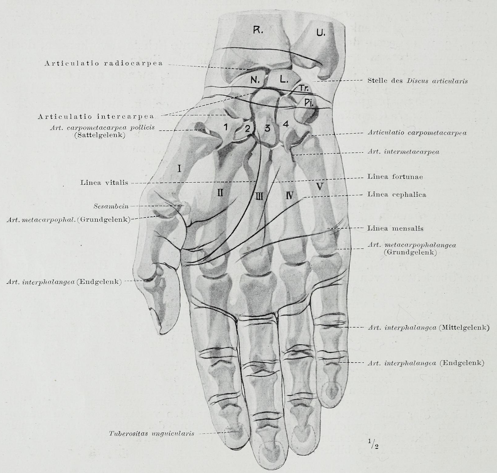 File:Braus 1921 187.png - Wikimedia Commons