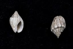 <i>Cyllene lamarcki</i> Species of gastropod
