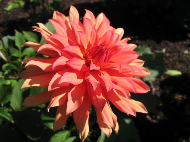 Ficheiro:Dahlia Autumn Fairy.jpg
