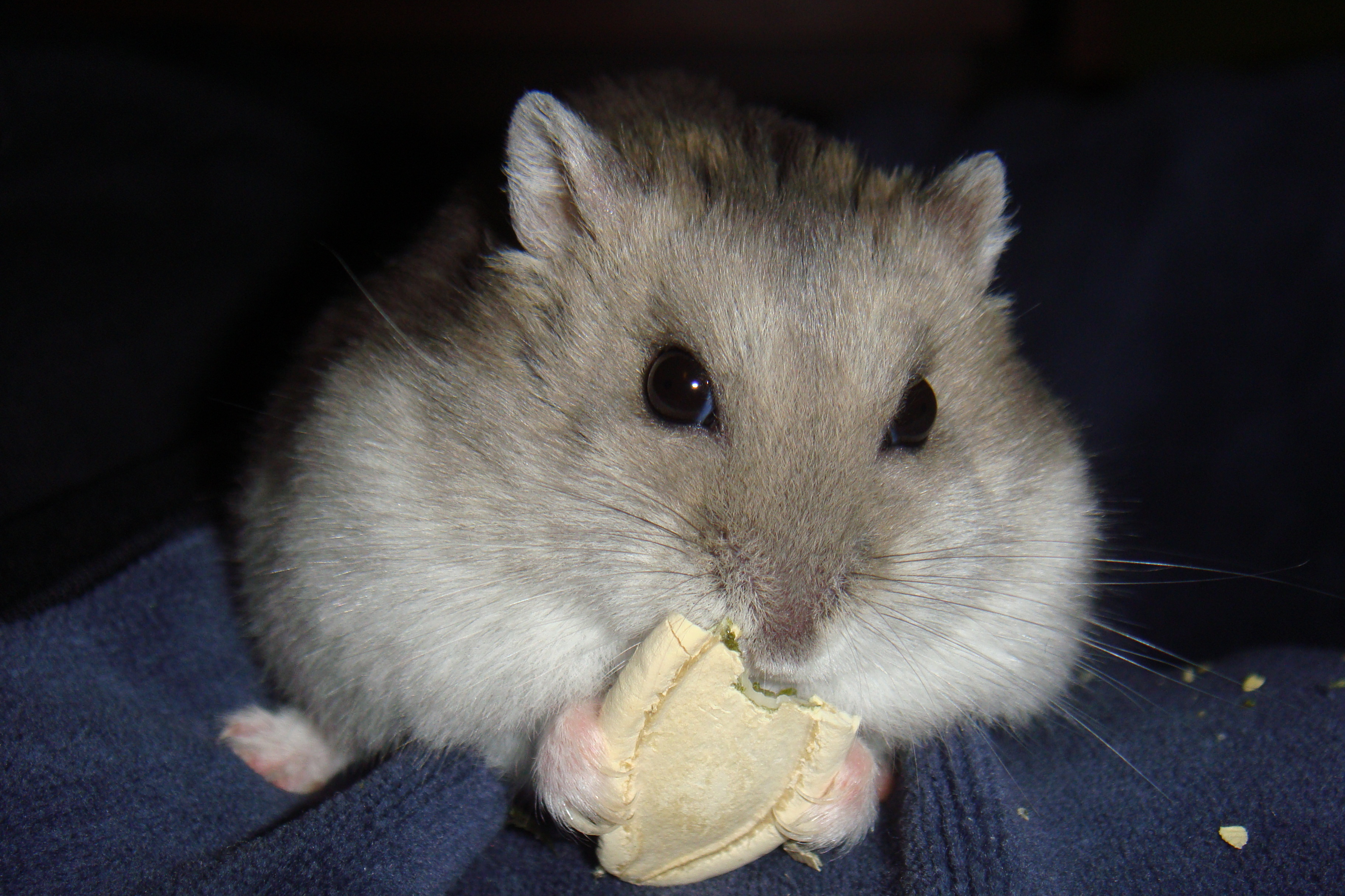 Hamster Not Eating From Food Dish But Taking Treats