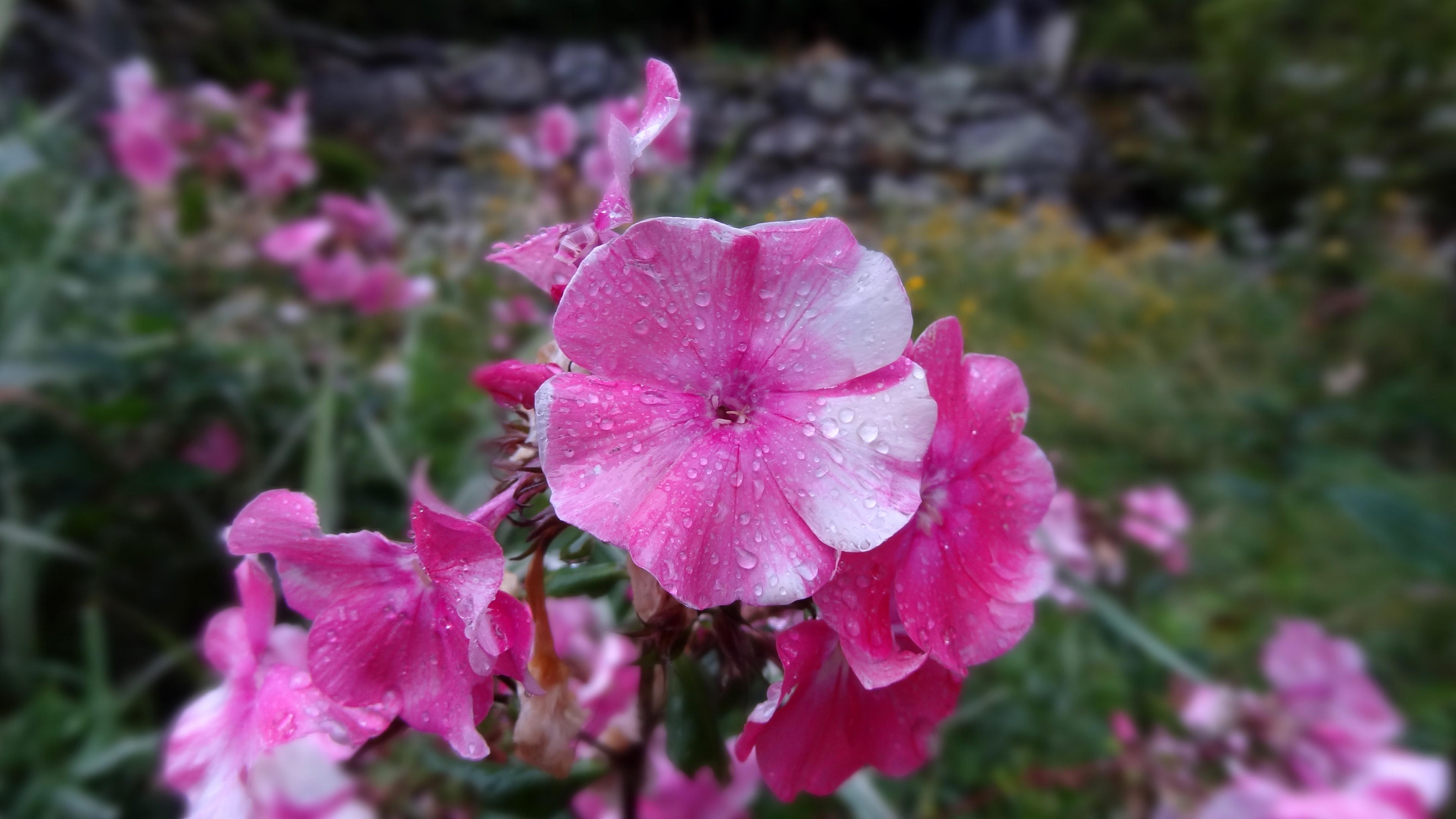 File Fleur Rose Jpg Wikimedia Commons