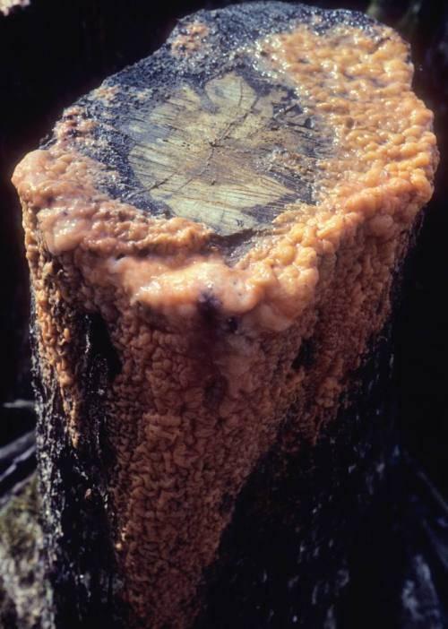 Fusarium Merismoides Wikipedia