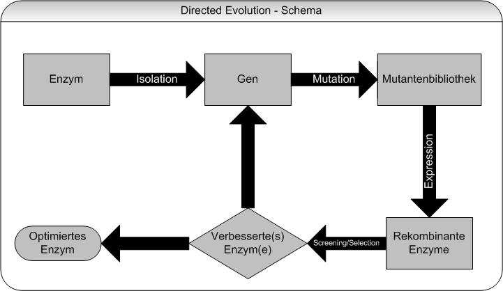 Gerichtete evolution schema.png