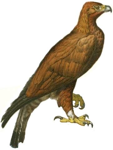 File:Golden Eagle Illustration white background.jpg - Wikimedia Commons