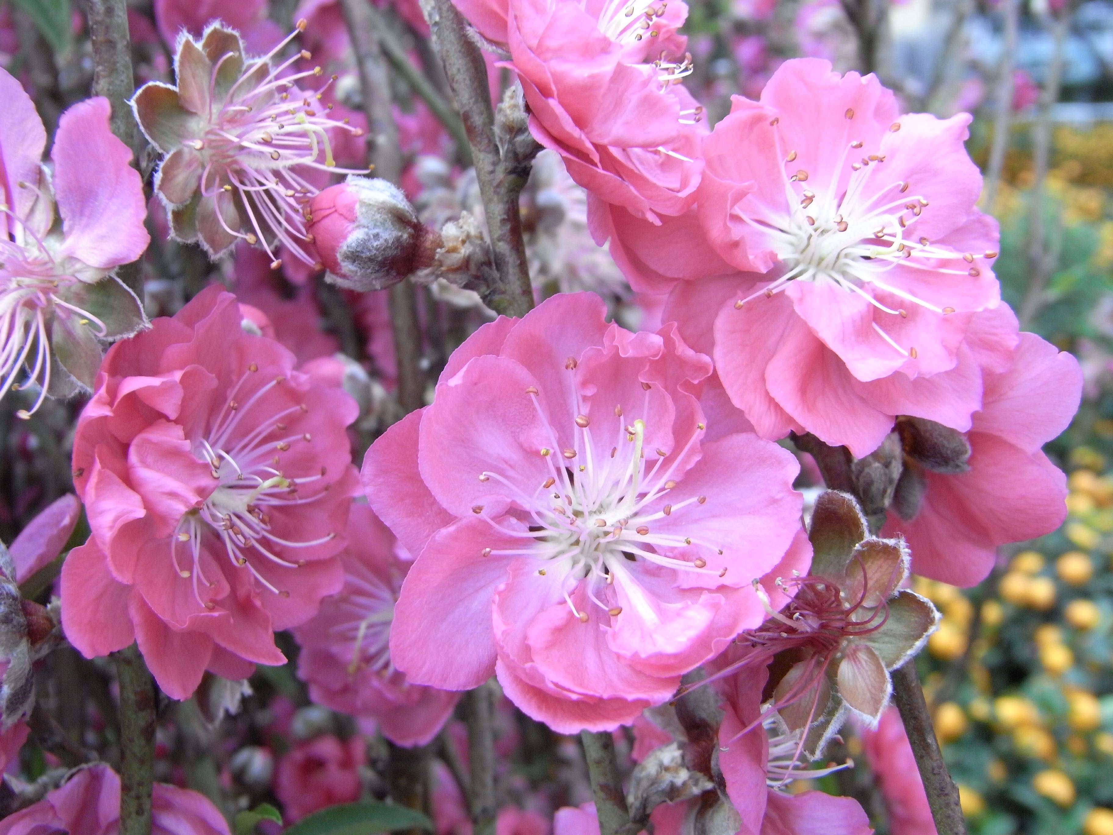 File HK CWB Victoria Park Chinese New Year Flower Fair 桃花 F11 Wikimedia