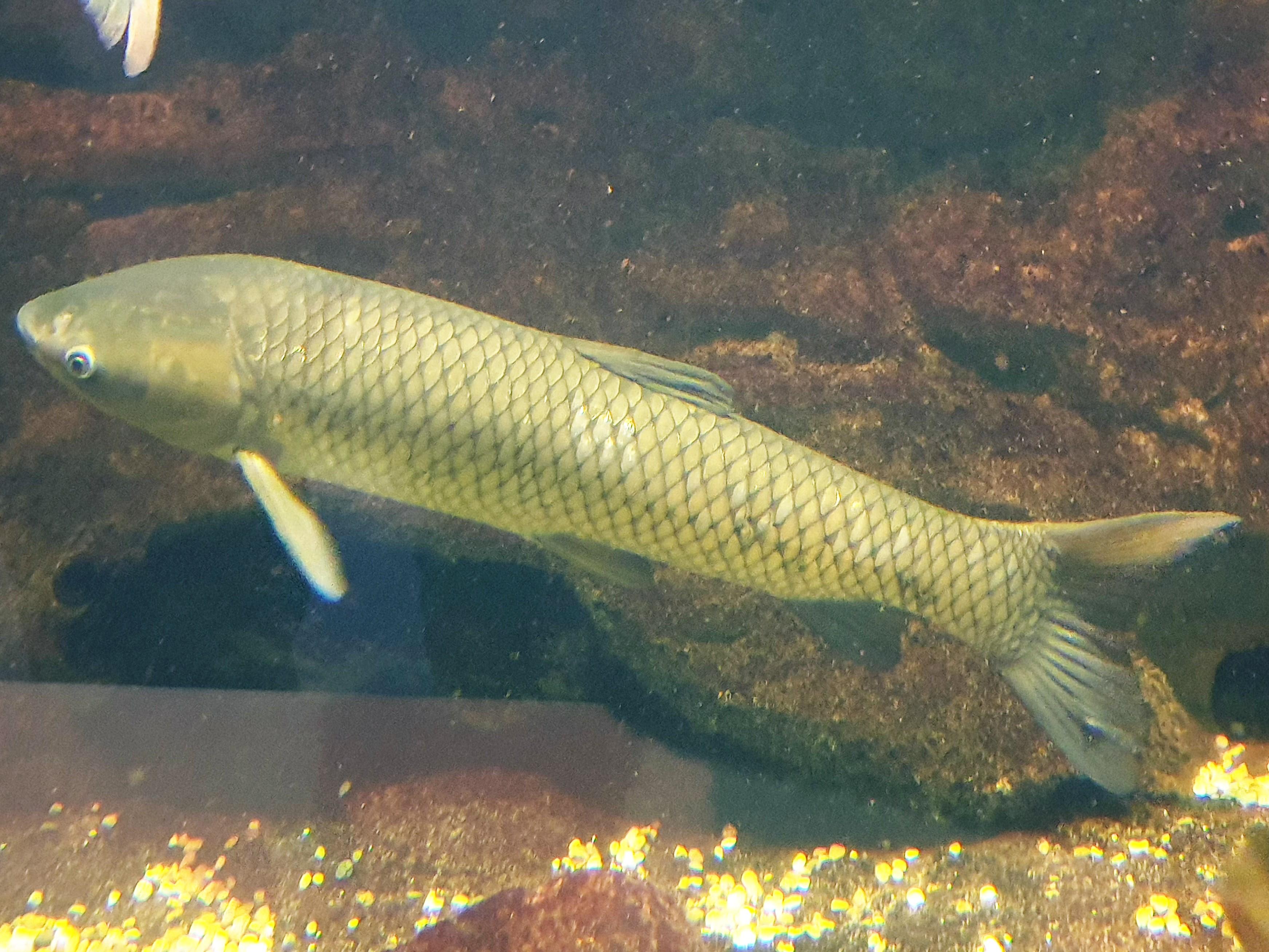 File:Hal - Ctenopharyngodon idella - 1.jpg - Wikimedia Commons
