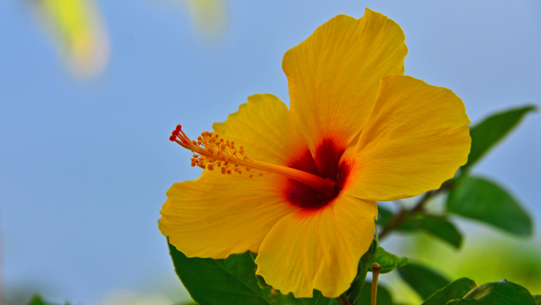 Filehawaiian hibiscus 16081500279g wikimedia commons filehawaiian hibiscus 16081500279g izmirmasajfo