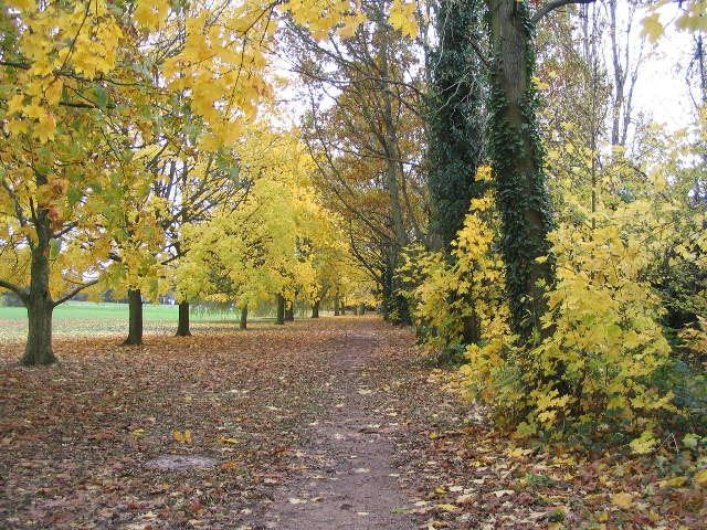 Hearsall Common, maples - geograph.org.uk - 1039644