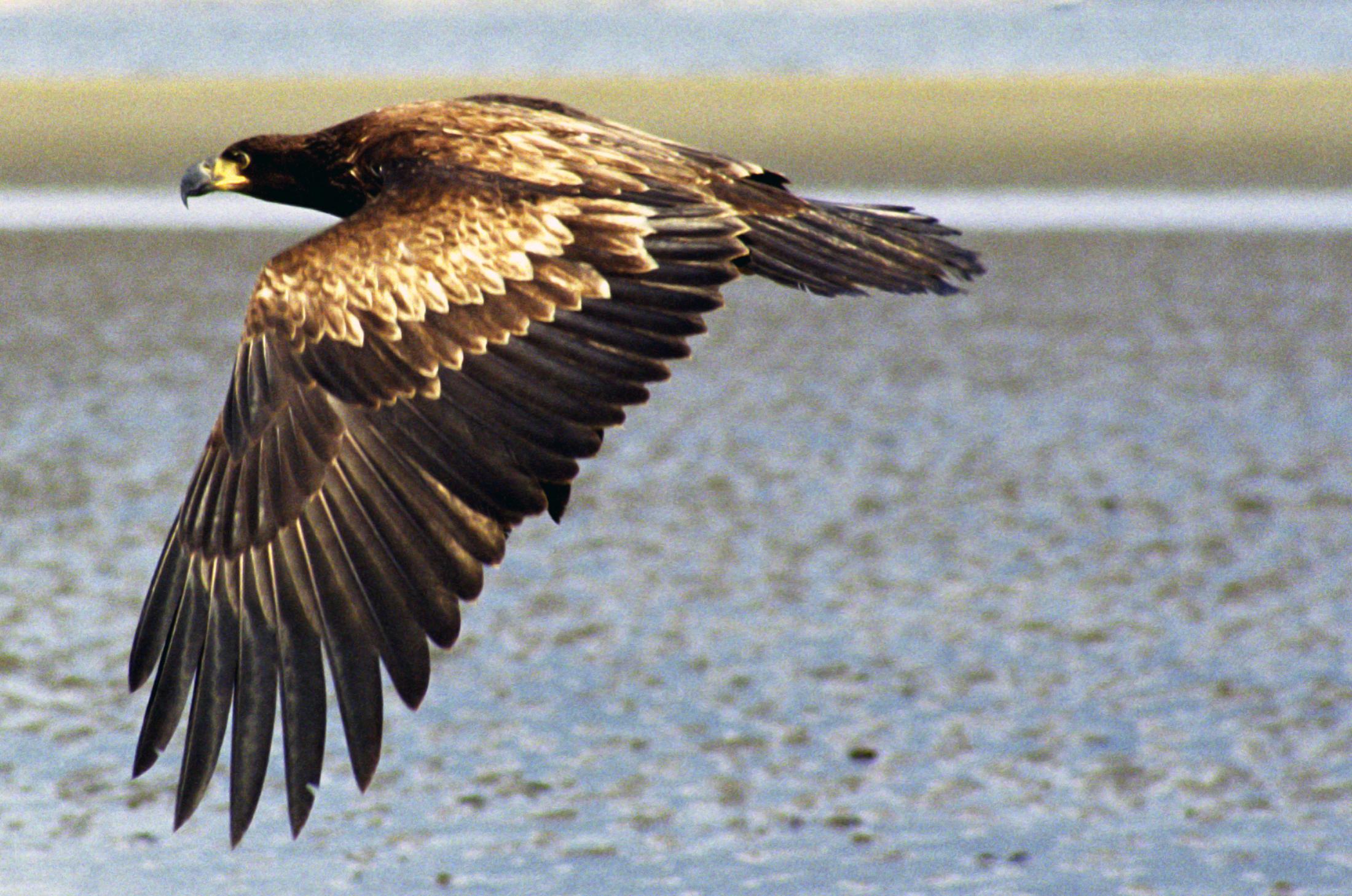 Bald Eagle - ThingLink