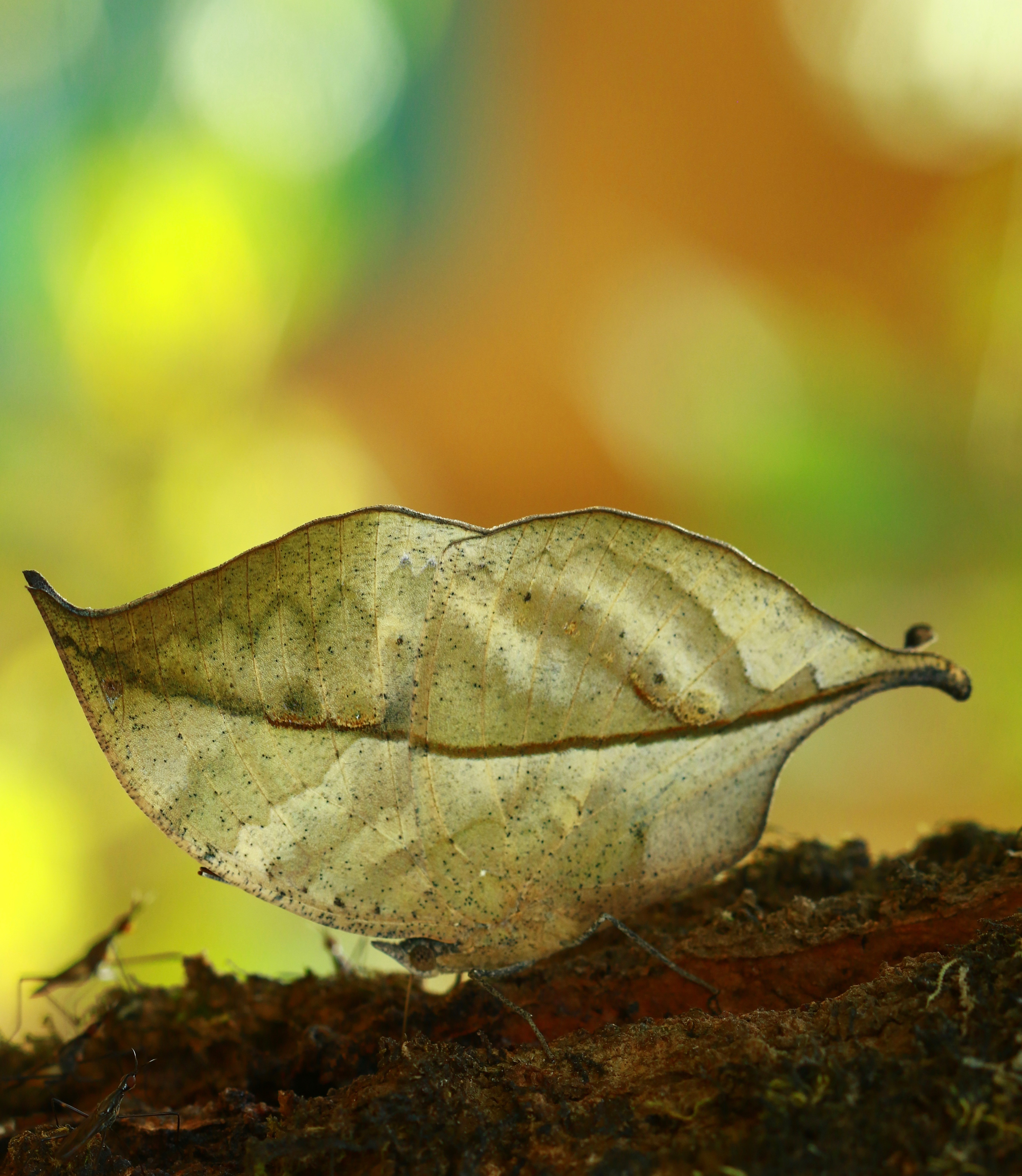 File:Kallima Inachus or Dead Leaf Butterfly jpg - Wikimedia Commons