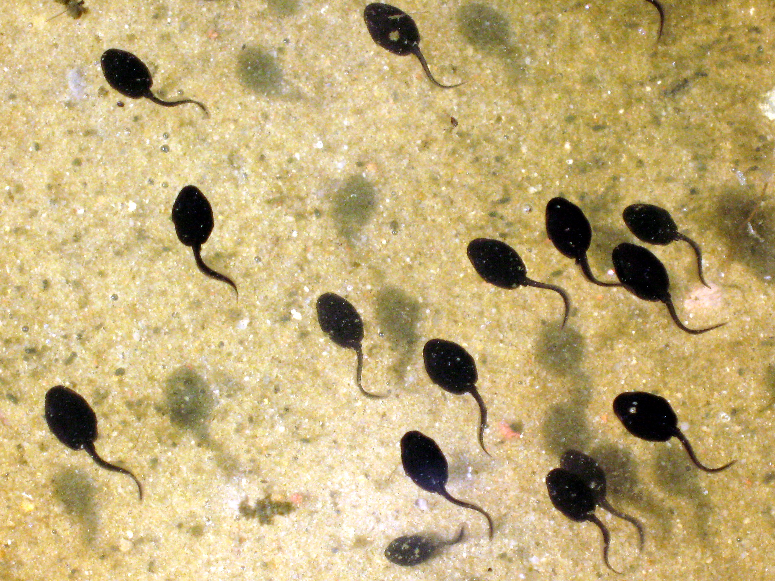 GM-free Scotland: Tadpole tails and Roundup herbicide