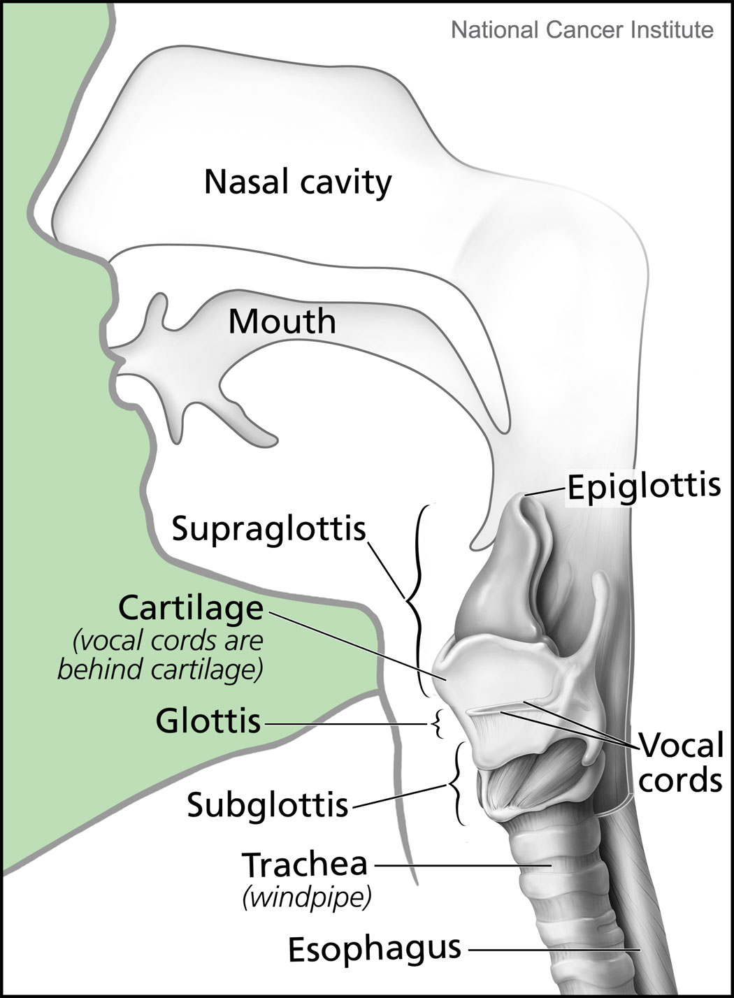 Filelarynx And Nearby Structuresg Wikipedia