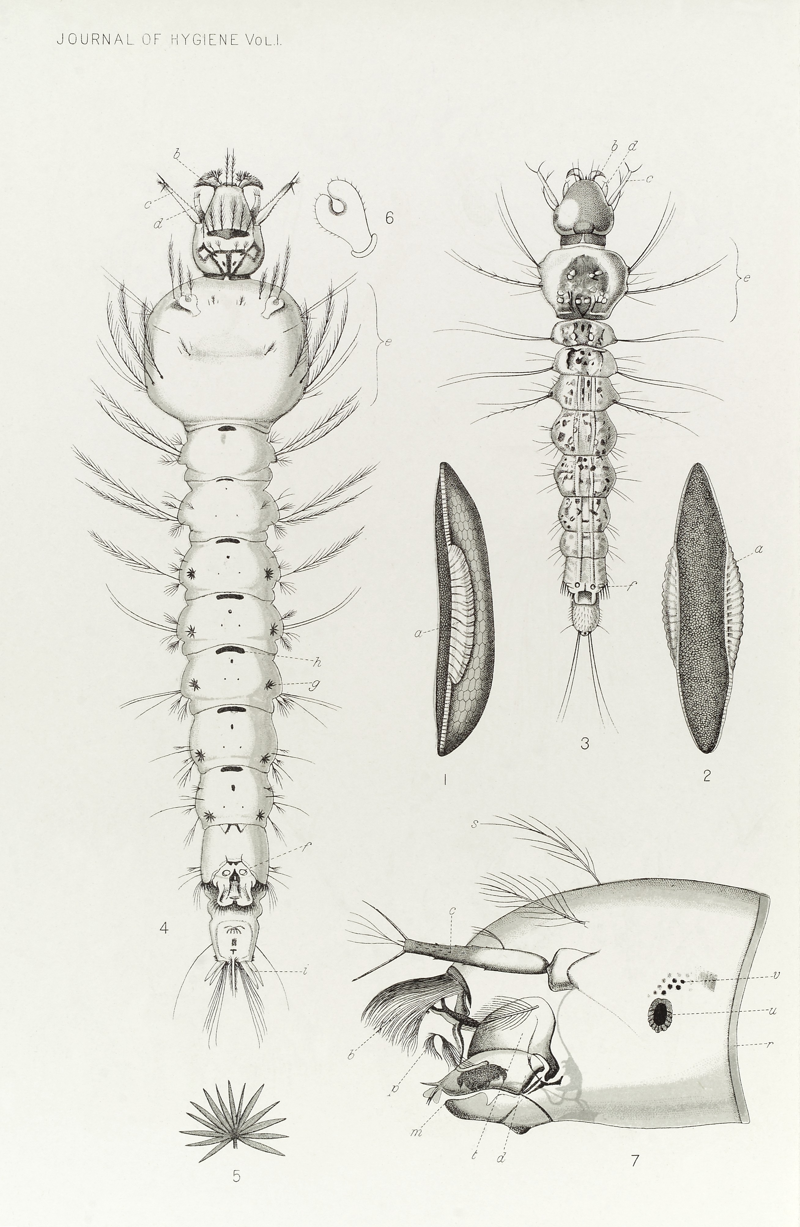 Filelife Cycle Anatomy Of Anopheles Mosquito 1901 Wellcome
