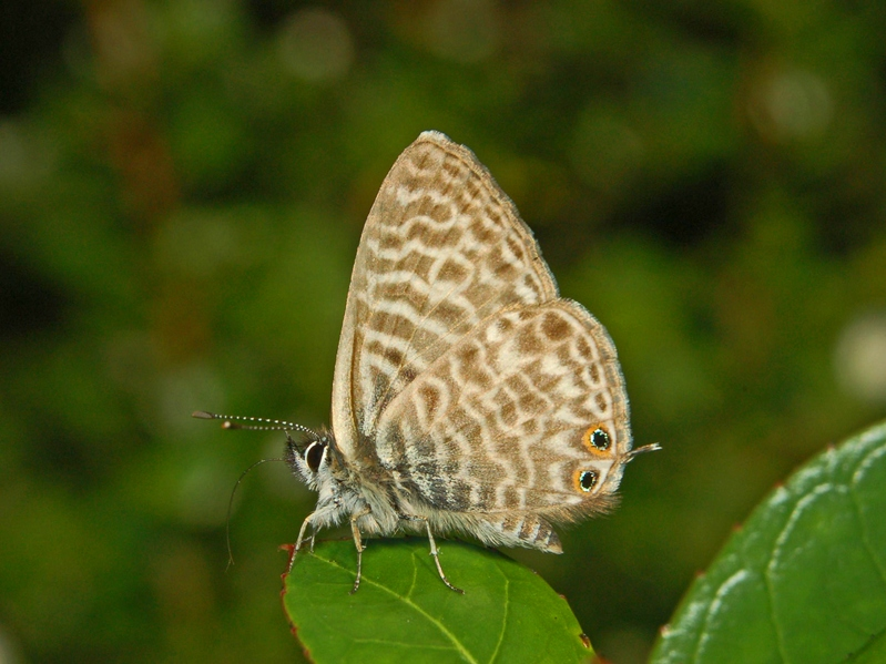 https://upload.wikimedia.org/wikipedia/commons/b/b2/Lycaenidae_-_Leptotes_pirithous-.JPG