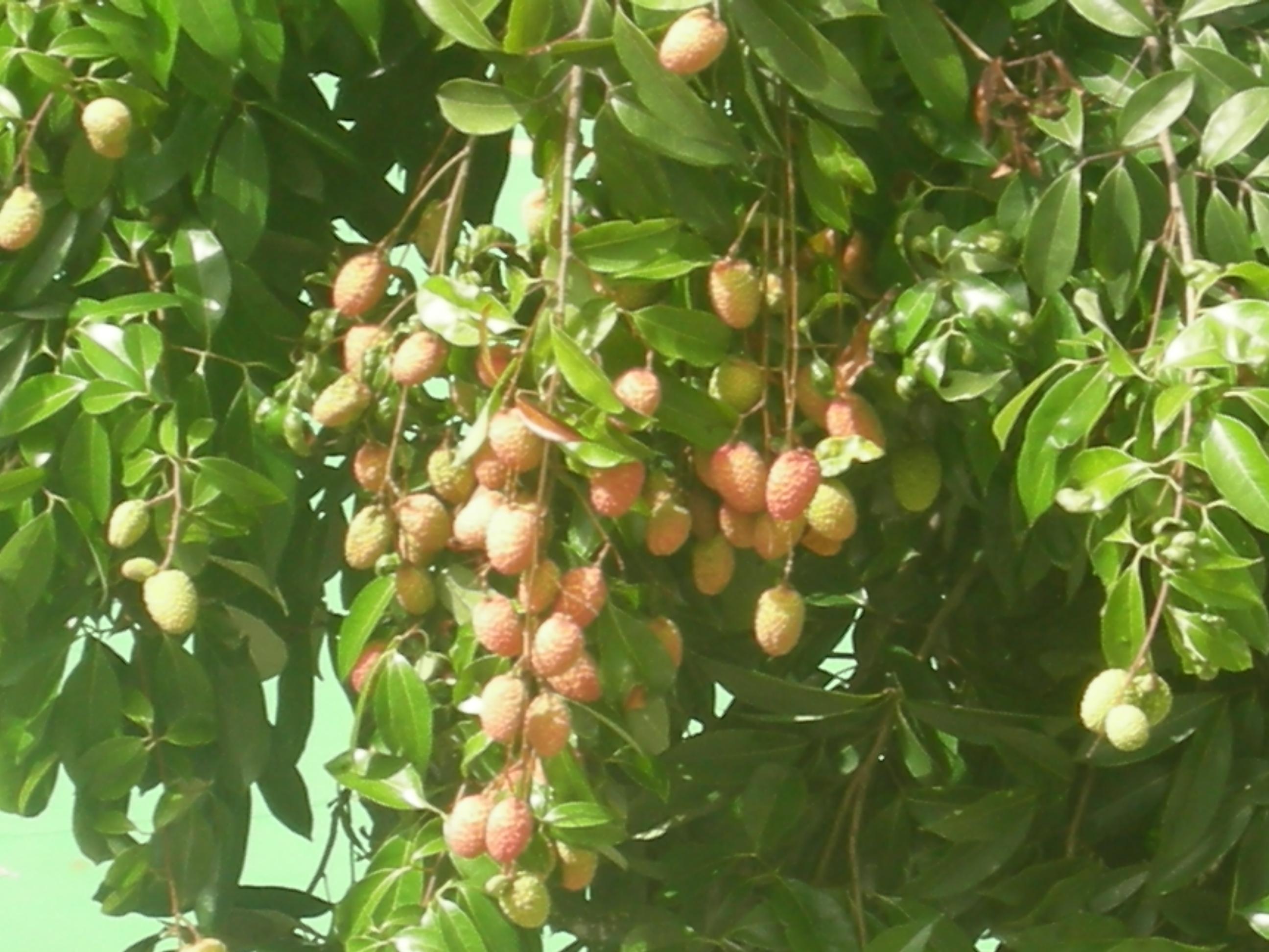 ... selling rambutan, so-called hairy lychee fruit - (768x512 - 156kB