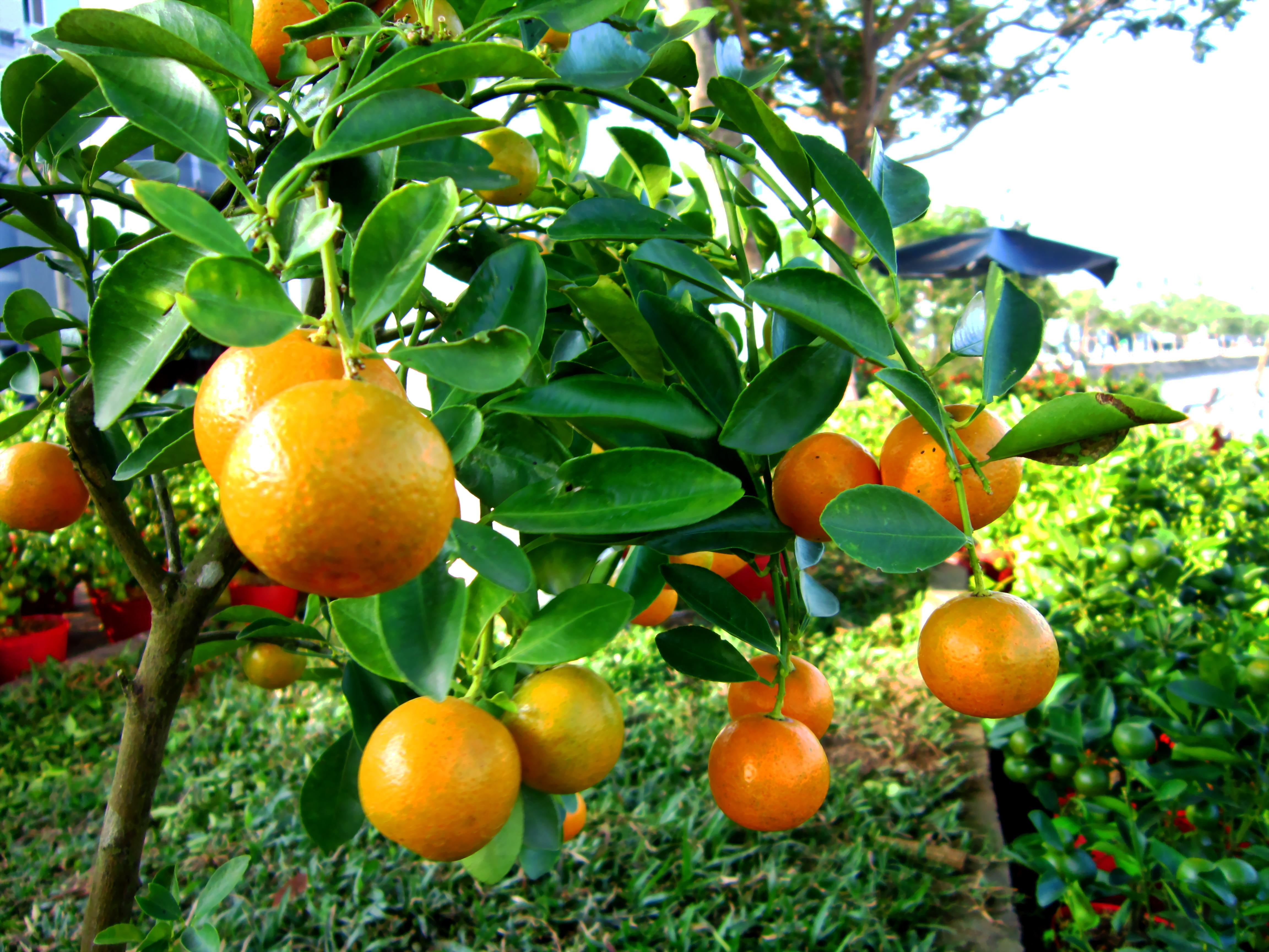 Sour Plum Lemon Hot Drink