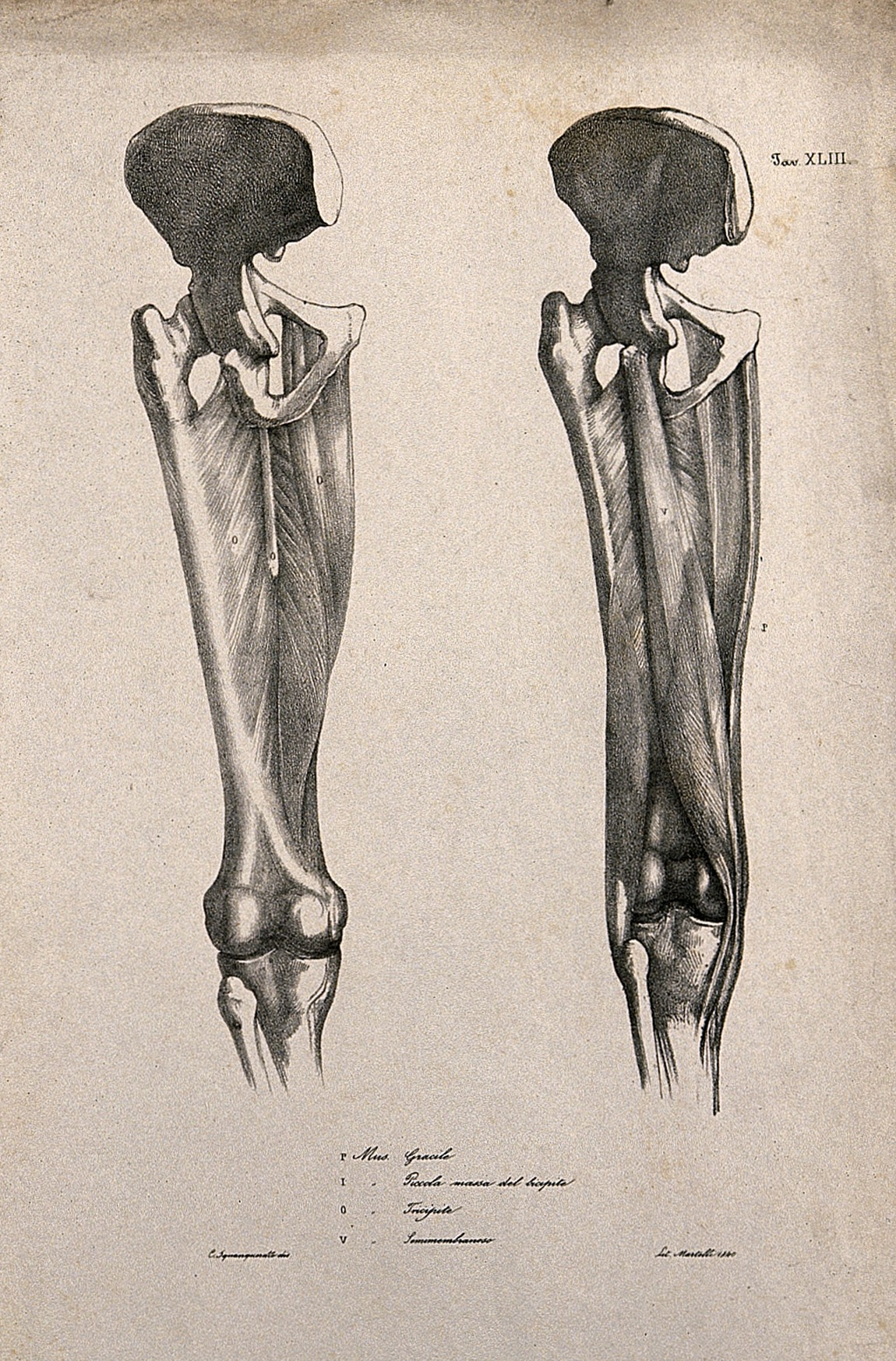 Filemuscles And Bones Of The Upper Leg And Pelvis Two Figures