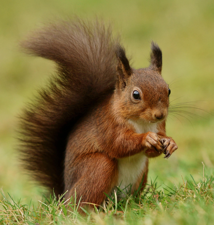 Écureuil — Wikipédia