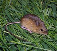 Description de l'image Pacific jumping mouse.jpeg.