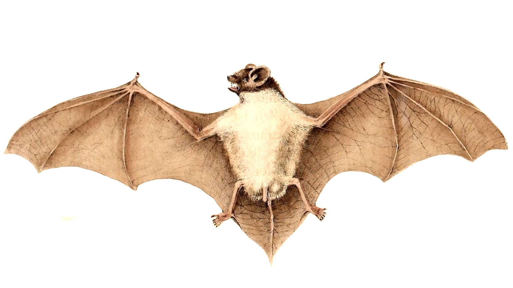 The average litter size of a Rüppell's pipistrelle is 1