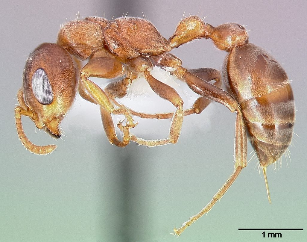 Pseudomyrmex Ferruginea Wikipedia