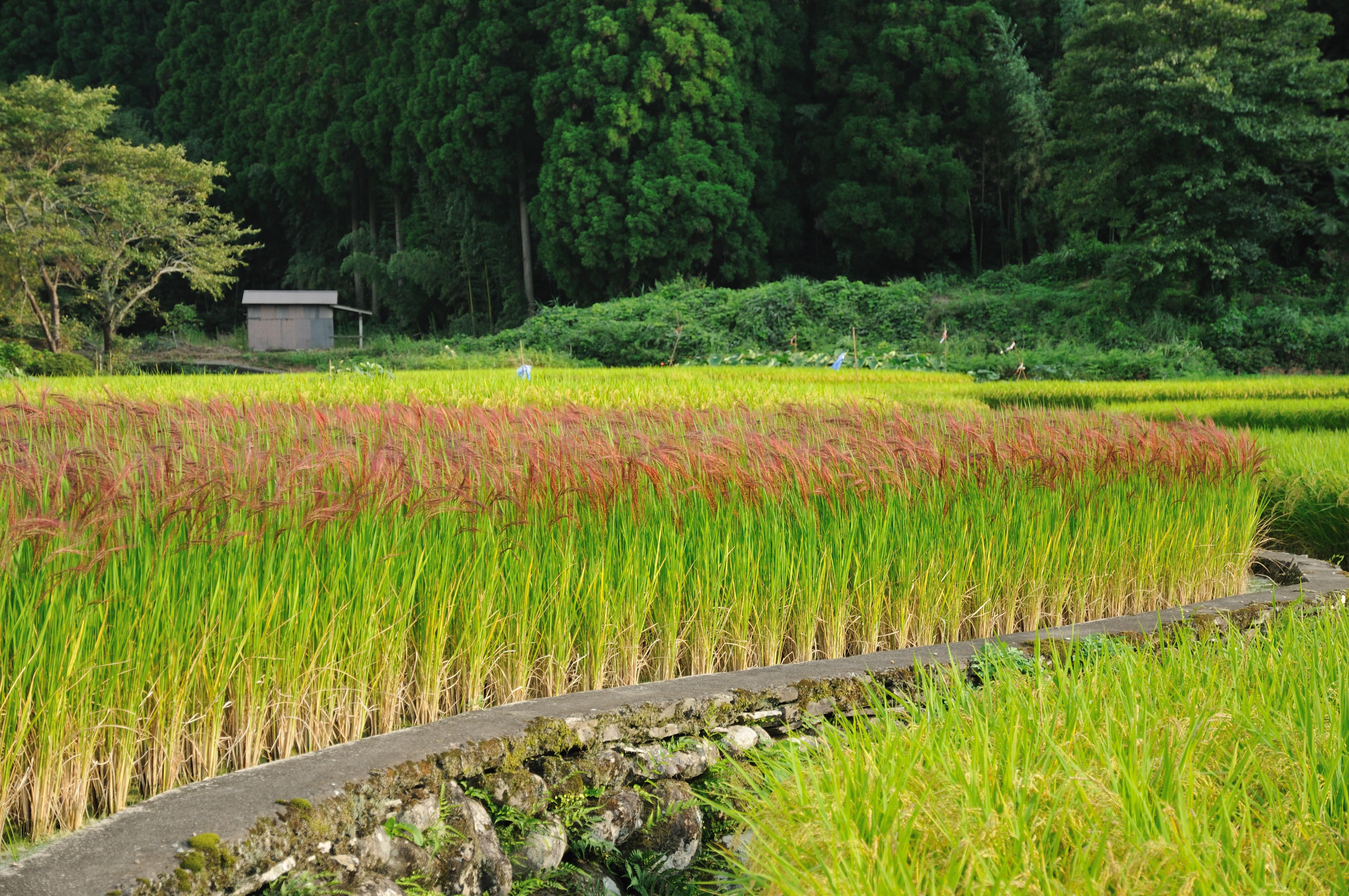 Description Red Rice Paddy field in Japan 006.jpg
