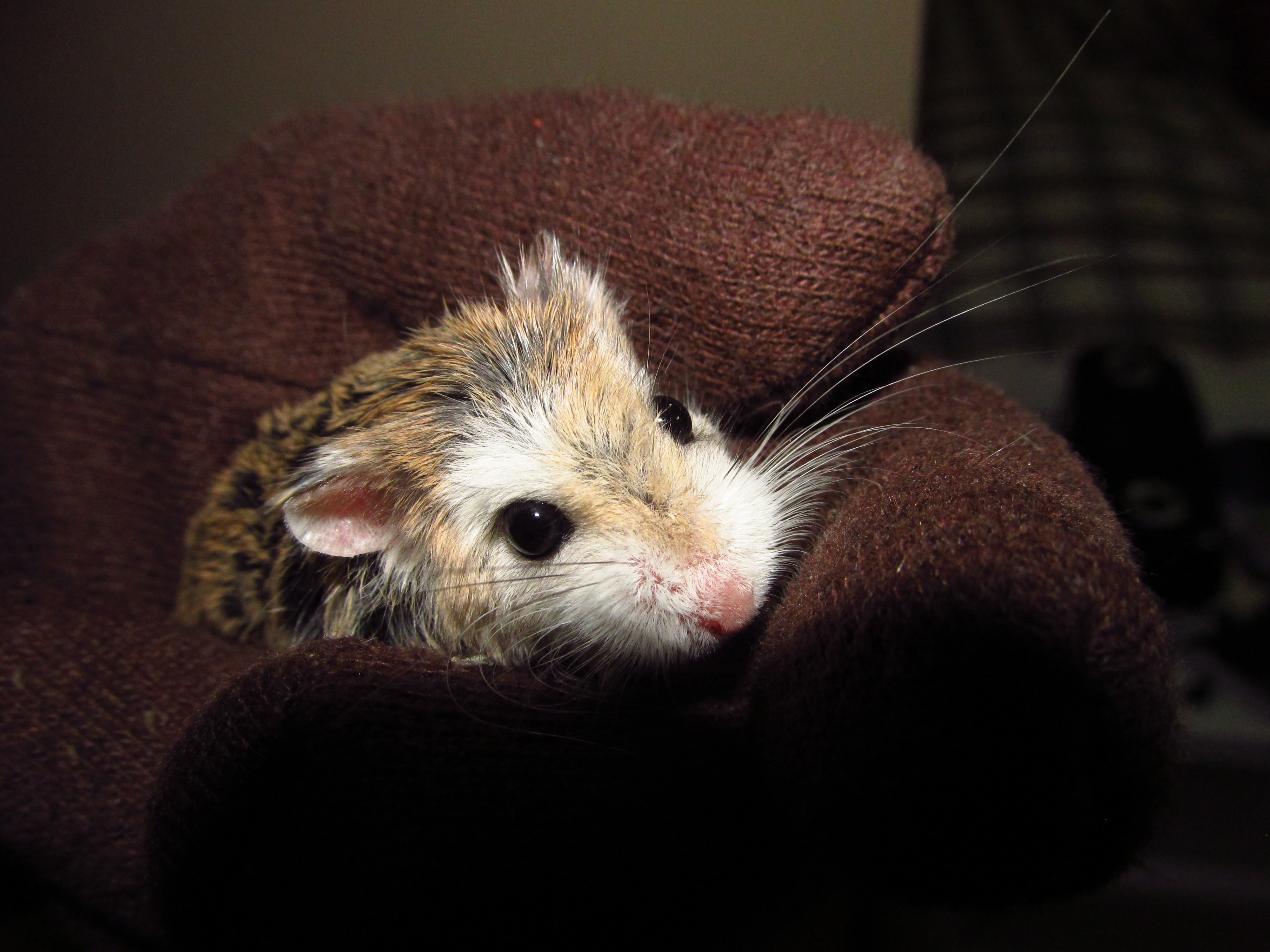 File:Roborovski Hamster Female jpg - Wikimedia Commons