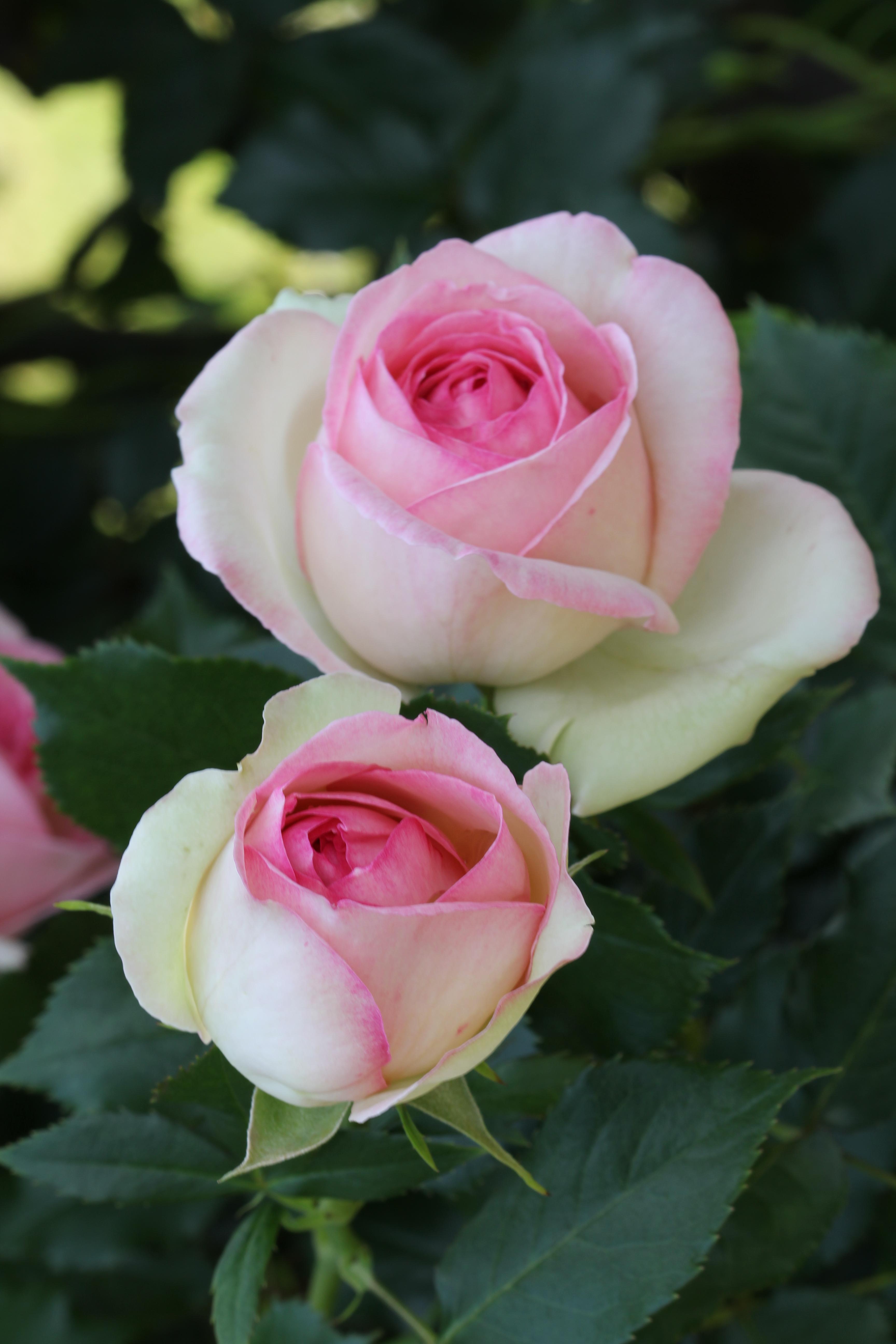 Passion pierre de ronsard on pinterest roses climbing for Pierre de ronsard rosa