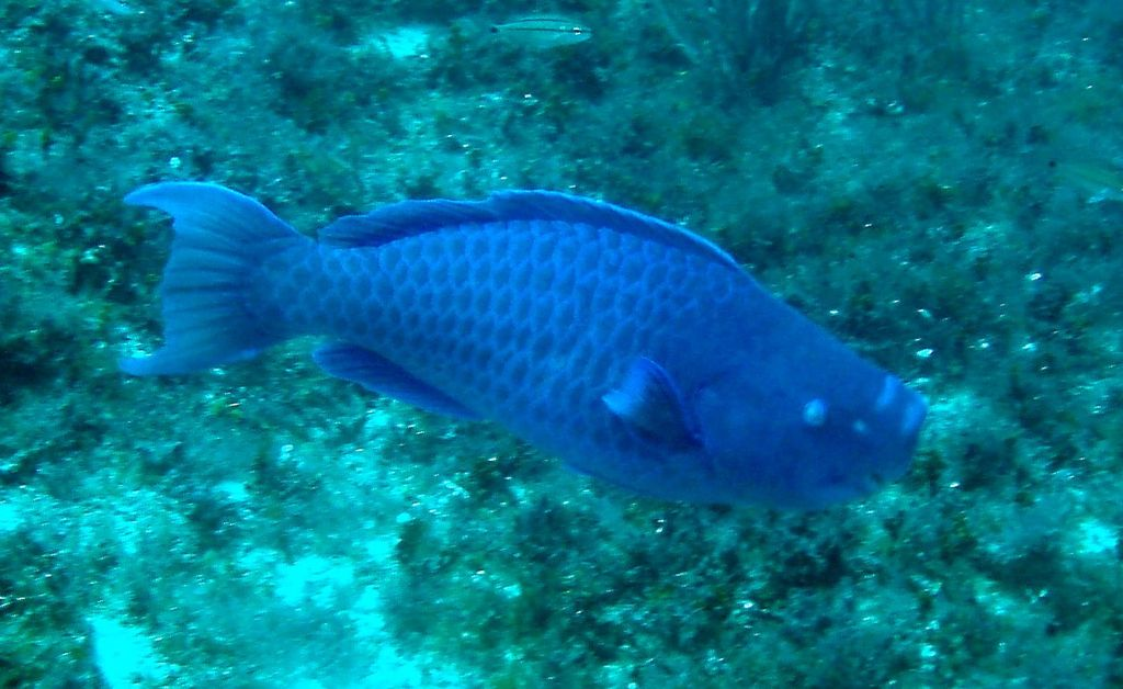 Blue parrotfish wikipedia for Blue parrot fish