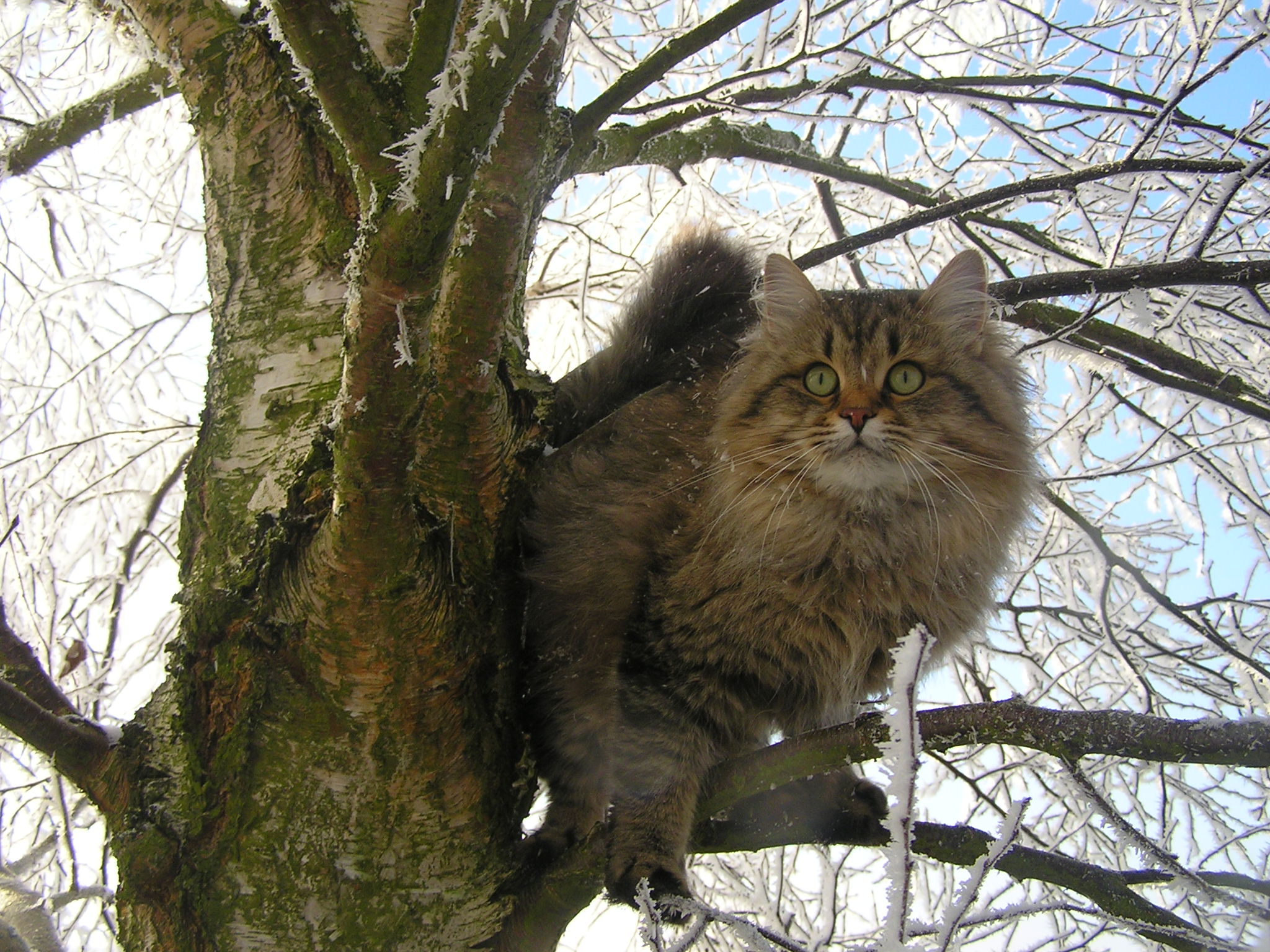 Maine Coon Dog Or Cat
