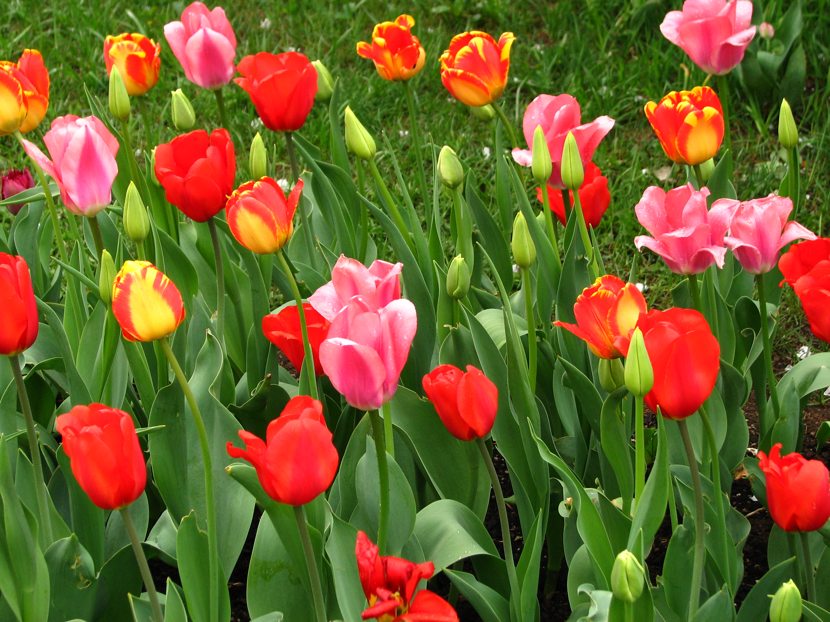 tulips in the spring - photo #34