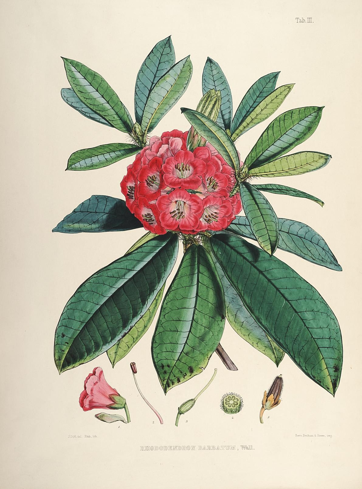 The rhododendrons of Sikkim Himalayas. Photo credit: Biodiversity Heritage Library/Wikimedia Commons [Licensed under CC BY 3.0]