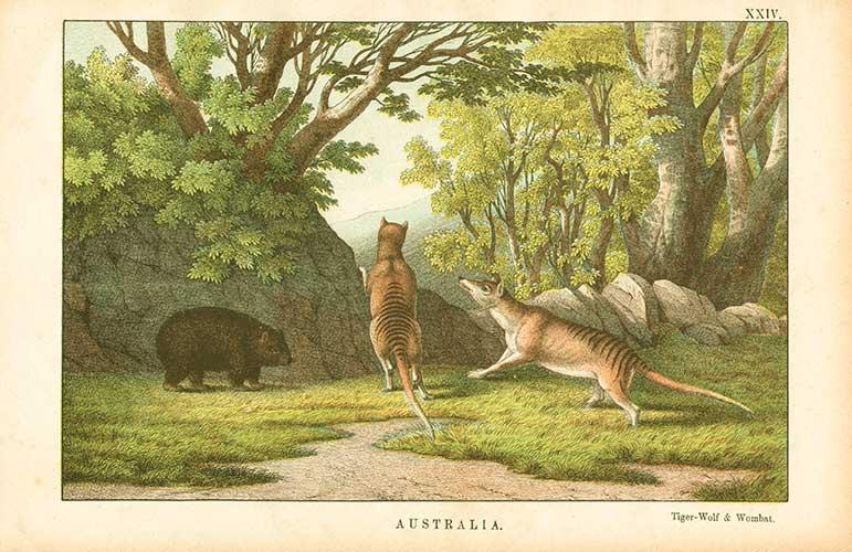 File:Thylacine-wombat.jpg