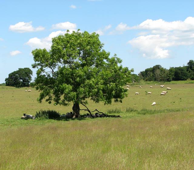 Venta Icenorum - from Roman town to sheep pasture - geograph.org.uk - 1352898