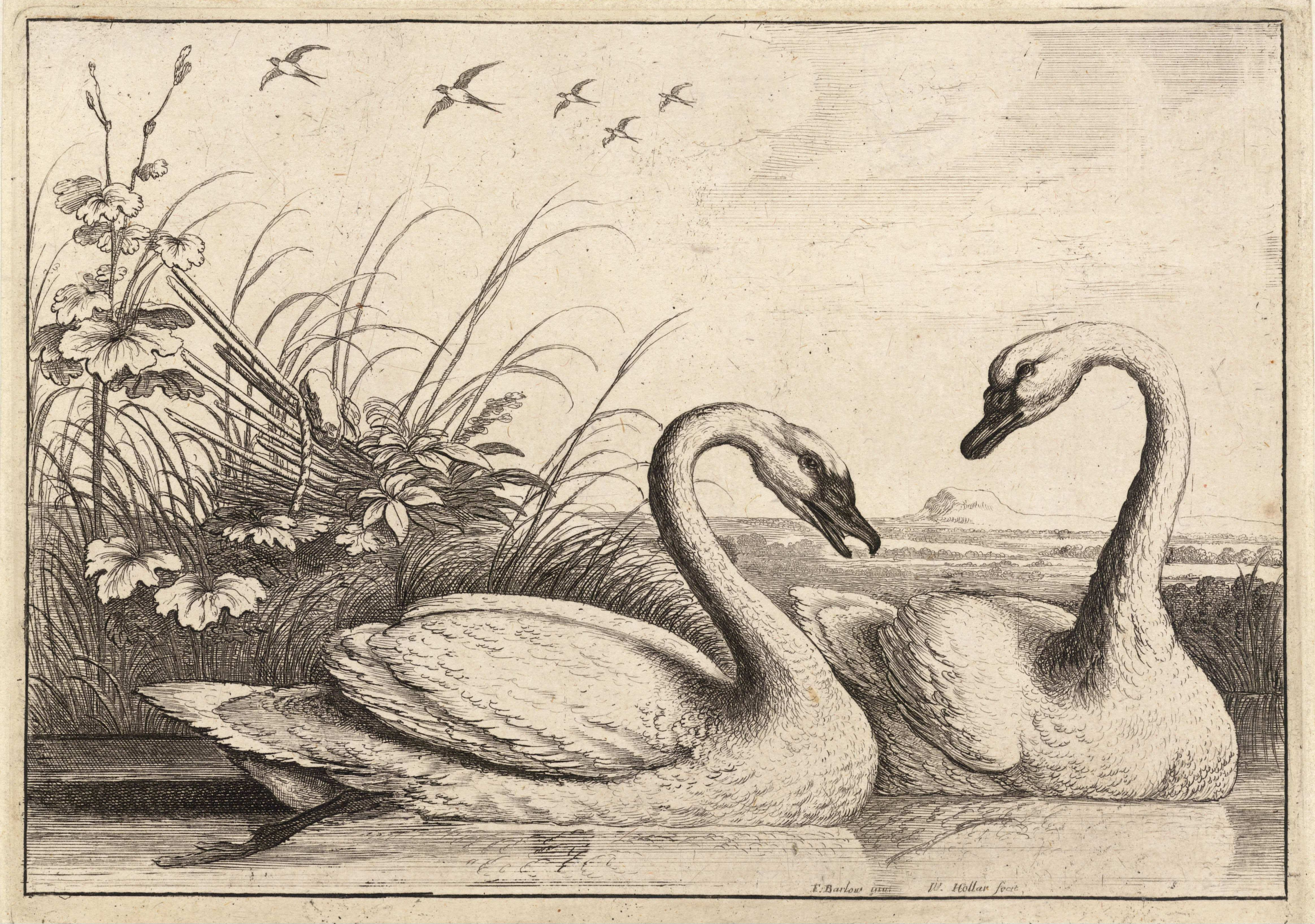 File Wenceslas Hollar Two Swans State 2 Jpg Wikimedia Commons