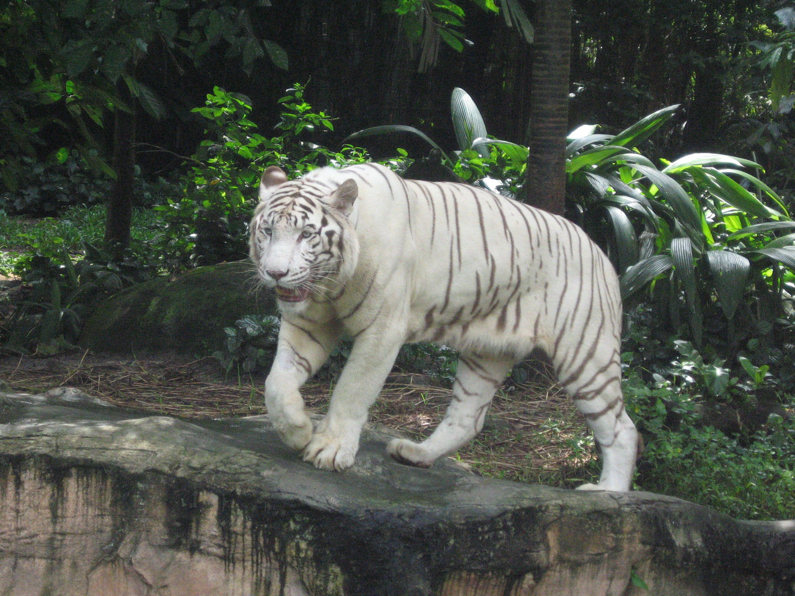 filewhite tigers singapore zoo 11jpg wikimedia commons