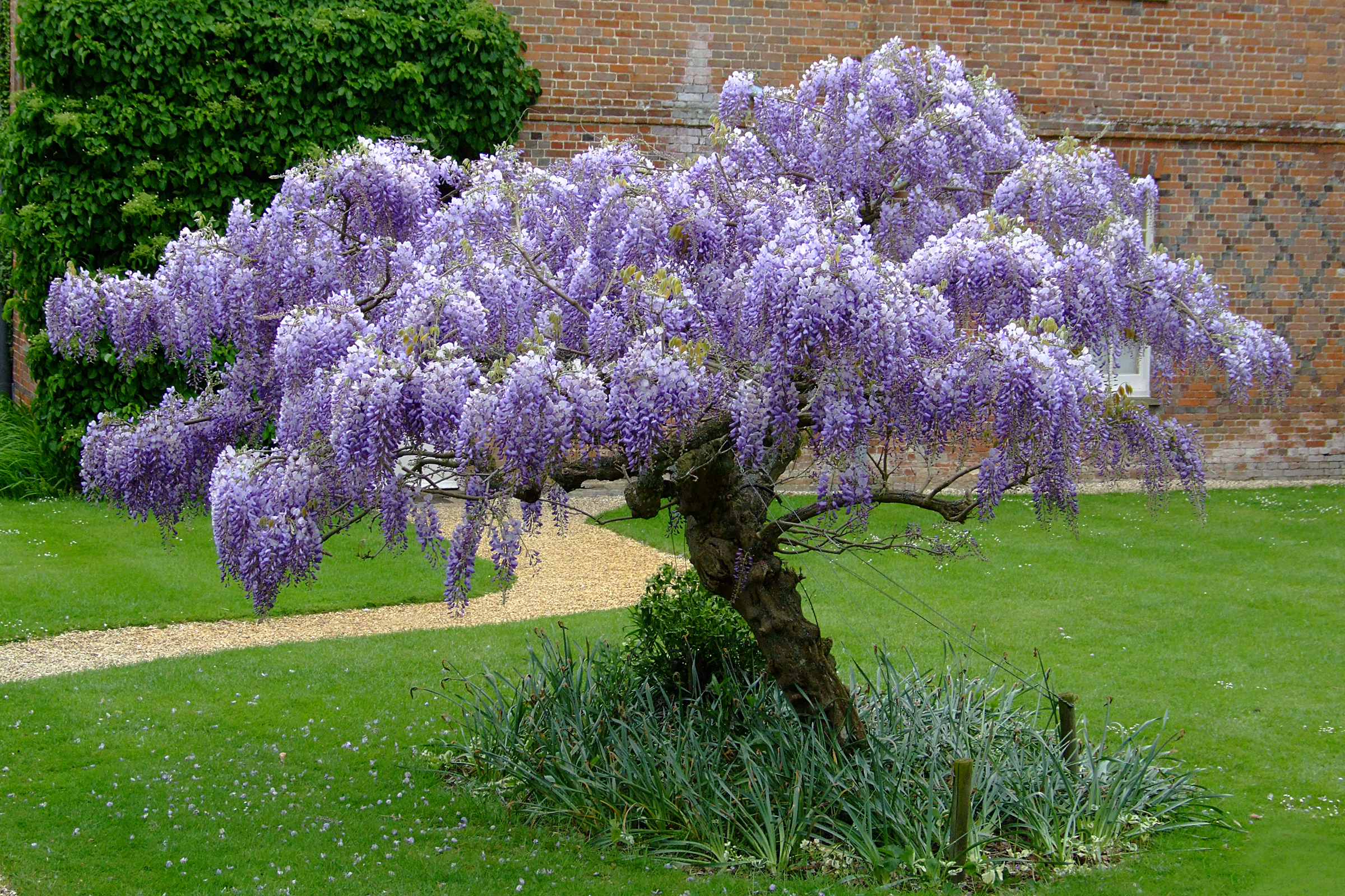 Wisteria on pinterest longwood gardens mediterranean for The wisteria