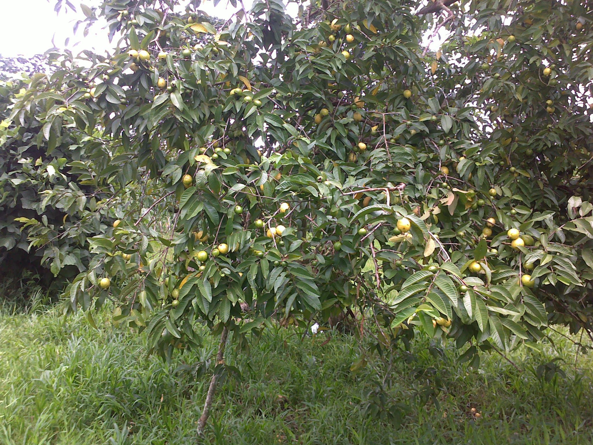 file193rbol en fructificaci243n de psidium guajavajpg