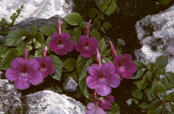achimenes grandiflora