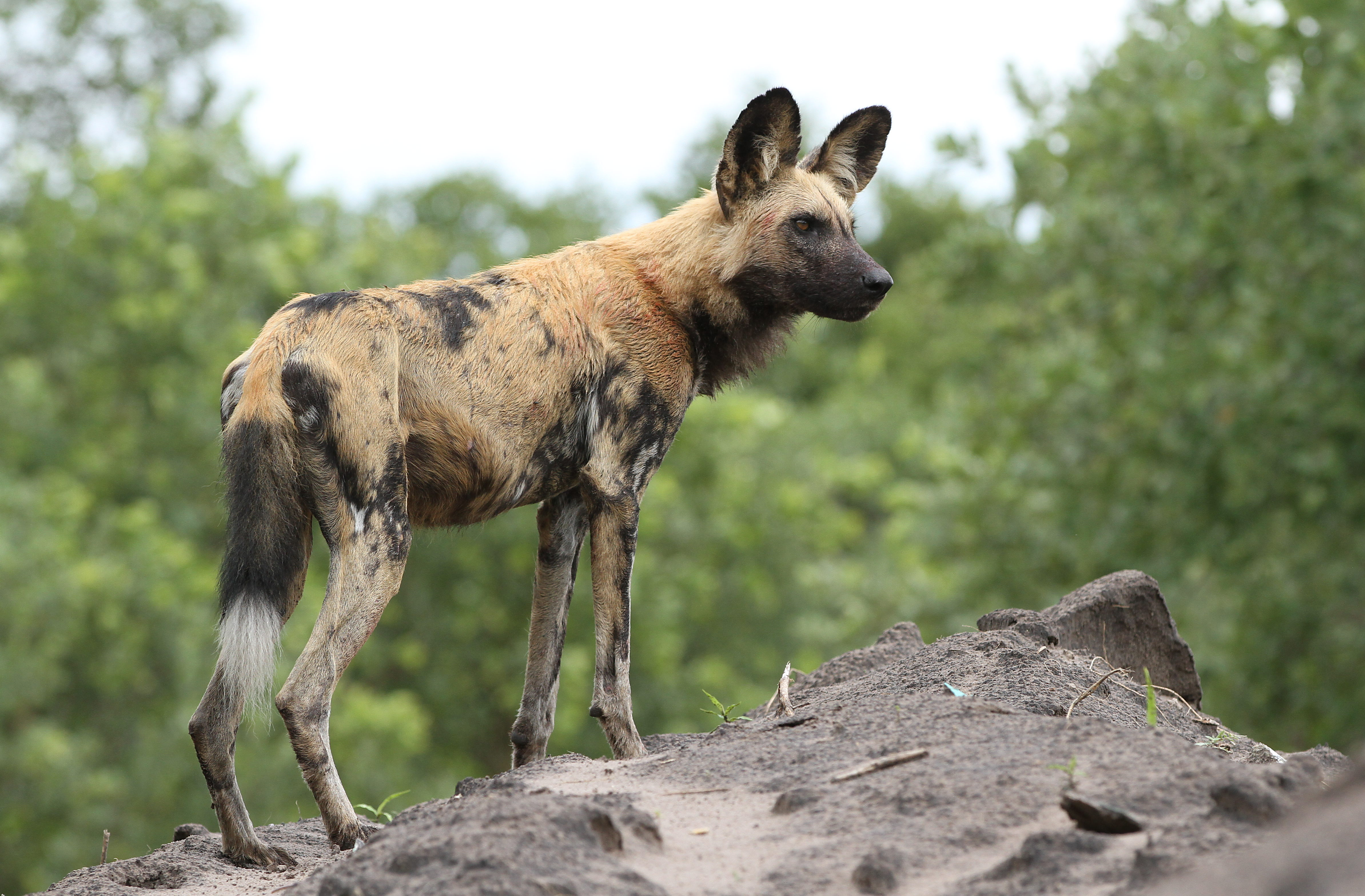 African Painted Dog Showing Dominance