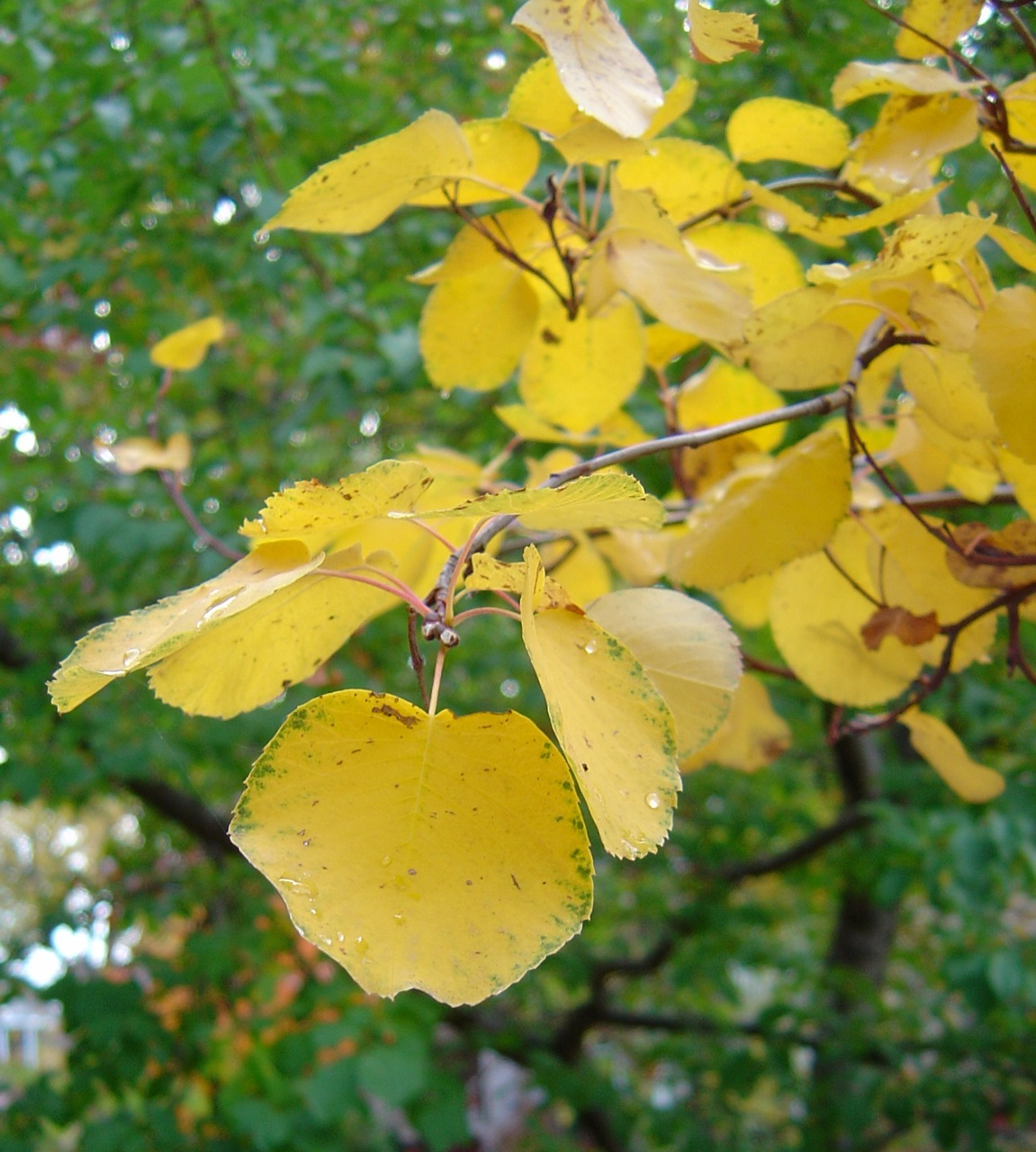 Serviceberry bush, fall color