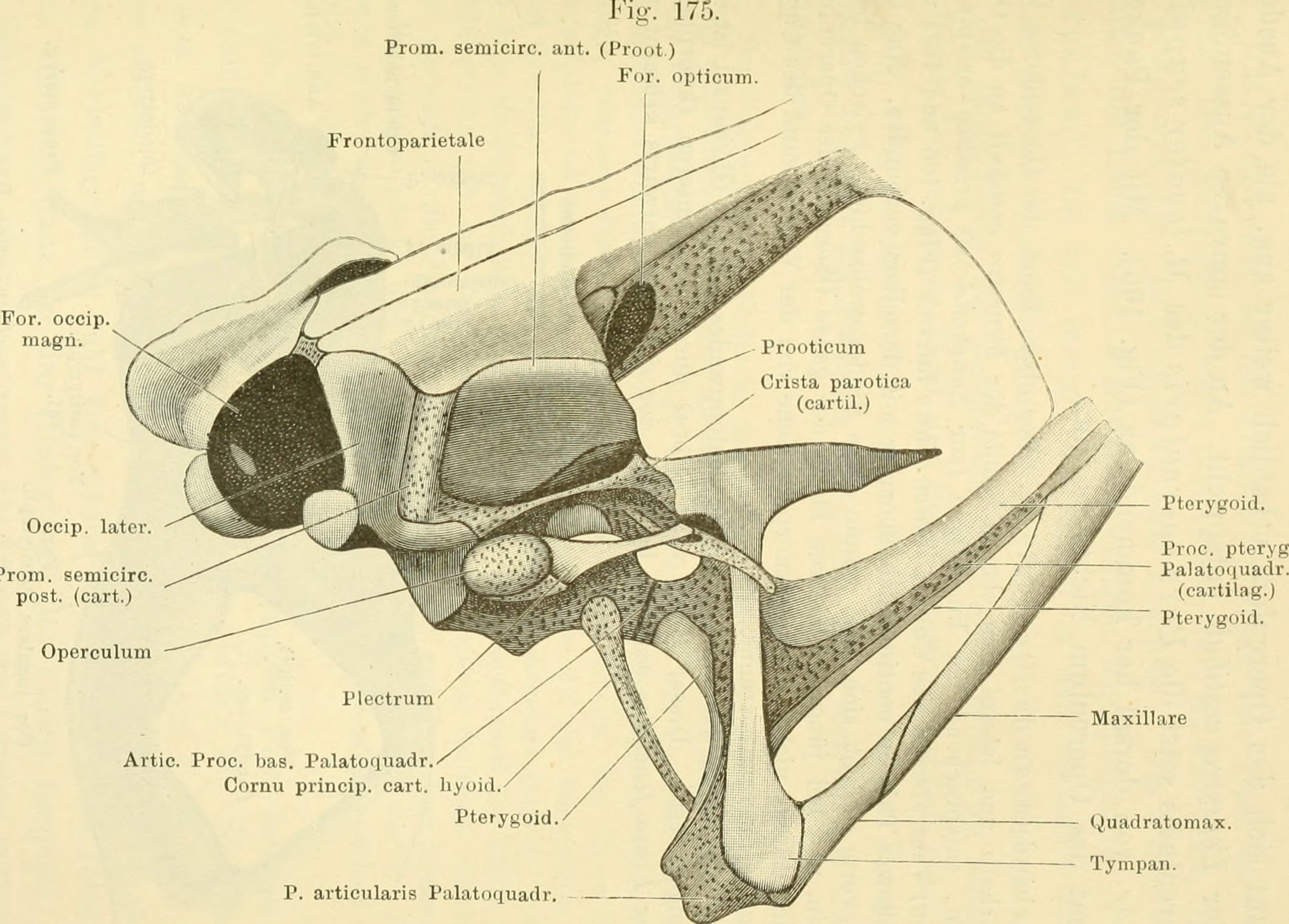 File:Anatomie des Frosches (1904) (17983925400).jpg - Wikimedia Commons