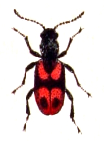 File:Anthicus.antherinus.-.calwer.48.15.jpg