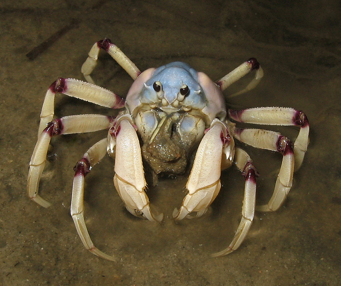 file aus soldier crab jpg wikipedia