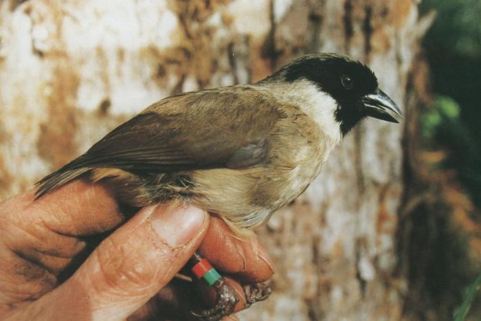 Чернолицая гавайская цветочница — Википедия