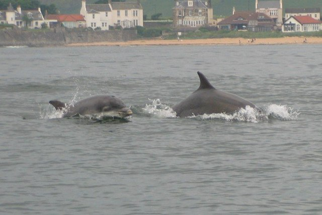http://upload.wikimedia.org/wikipedia/commons/b/b3/Bottle_nose_dolphins_in_Elie_Bay_-_geograph.org.uk_-_618582.jpg