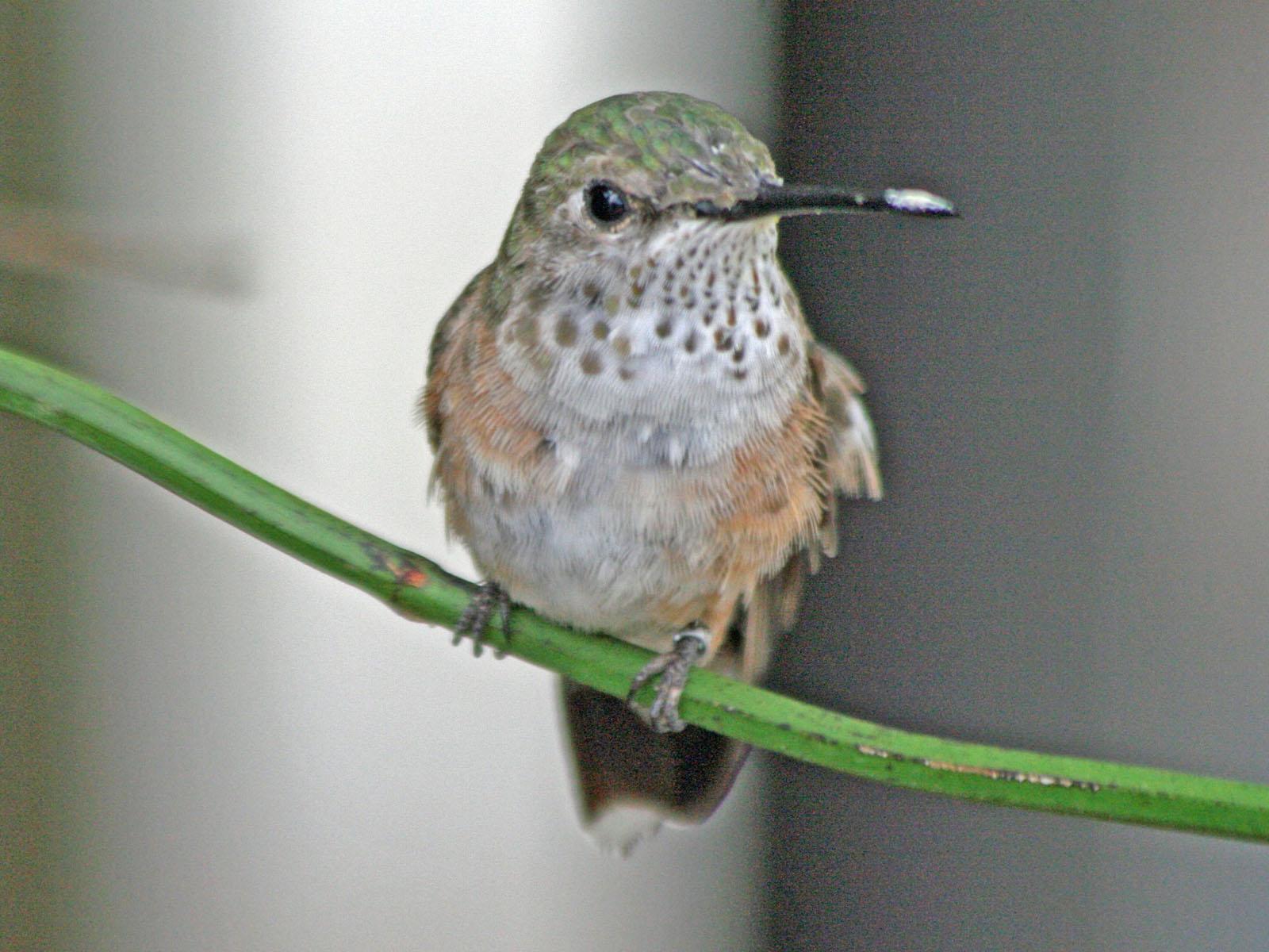 File Broad Tailed Hummingbird Female Smtc Jpg